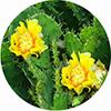 Экстракт кактуса