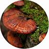 Экстракт гриба линчжи